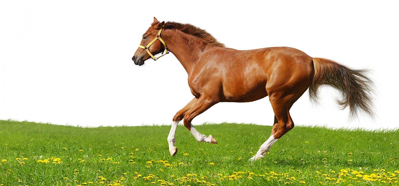 lecenje-zivotinja-konj